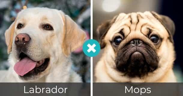 Labrador Mops Mischling
