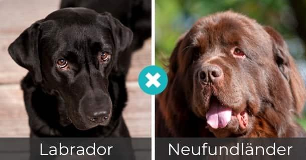 Labrador Neufundländer Mischling