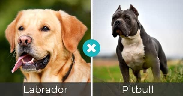 Labrador Pitbull Mischling