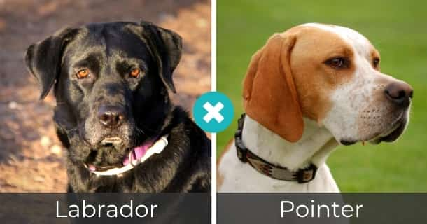 Labrador Pointer Mischling