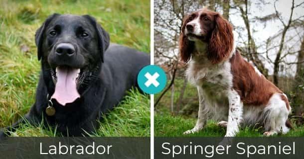 Labrador Springer Spaniel Mischling