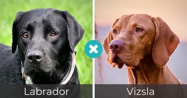 Labrador Vizsla Mischling