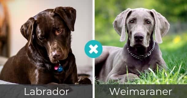 Labrador Weimaraner Mischling