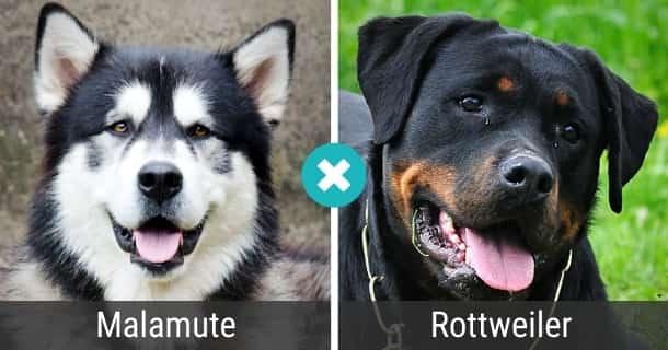 Malamute Rottweiler Mix