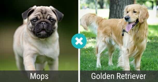 Mops Golden Retriever Mix