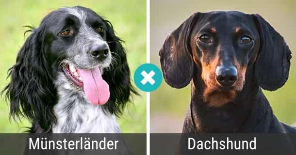 Münsterländer Dackel Mischling