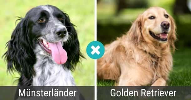 Münsterländer Golden Retriever Mix