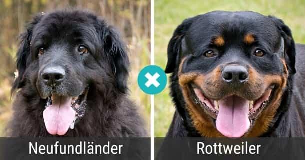 Neufundländer Rottweiler Mix
