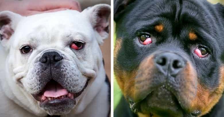 Nickhautdrüsenvorfall bei Hunden