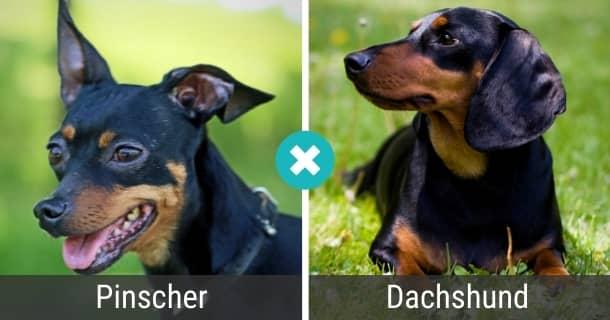 Pinscher Dackel Mix
