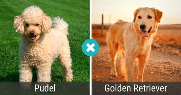 Pudel Golden Retriever Mix