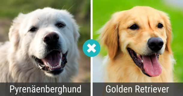 Pyrenäenberghund Golden Retriever Mix