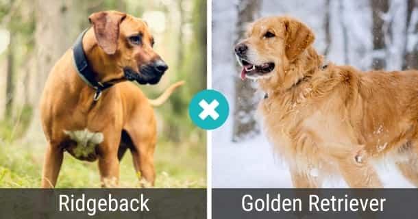Ridgeback Golden Retriever Mix