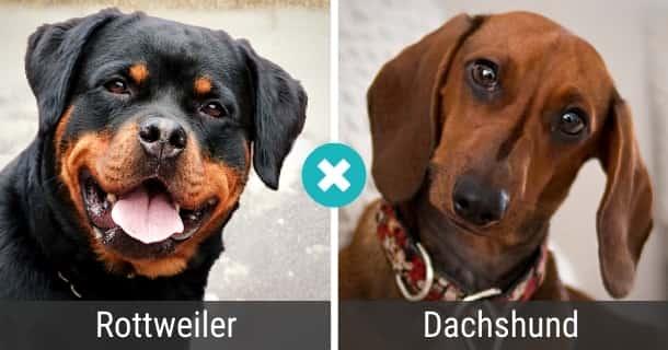 Rottweiler Dackel Mischling
