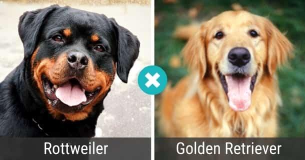 Rottweiler Golden Retriever Mix