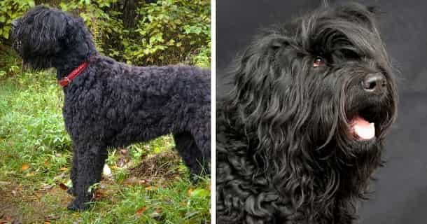 Russischer Schwarzer Terrier