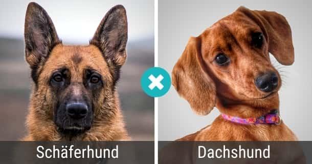 Schäferhund Dackel Mischling