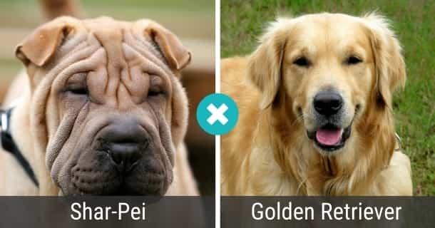 Shar-Pei Golden Retriever Mix