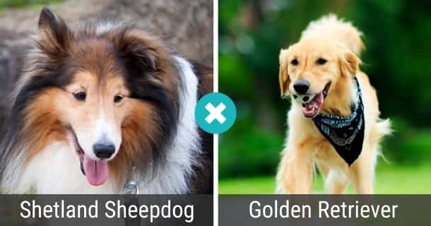Shetland Sheepdog Golden Retriever Mix