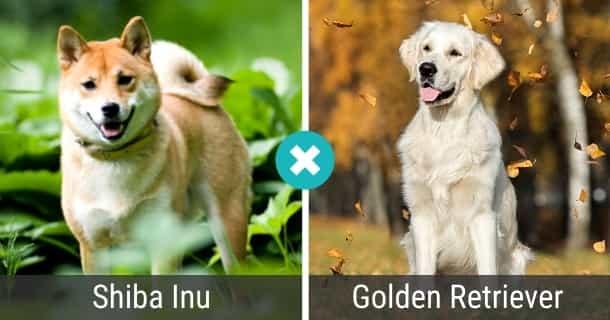 Shiba Inu Golden Retriever Mix