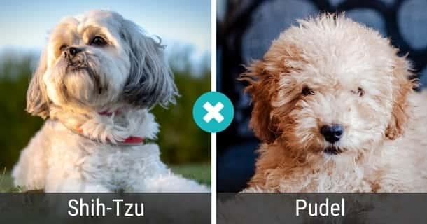 Shih-Tzu Pudel Mischling