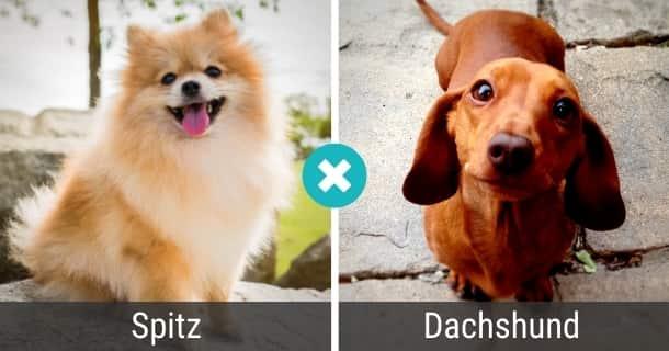 Spitz Dackel Mischling