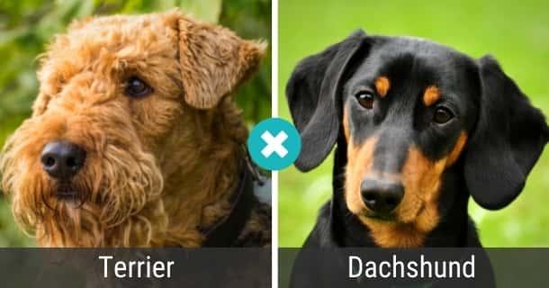 Terrier Dackel Mischling