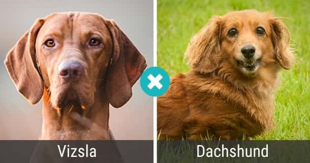 Vizsla Dackel Mischling
