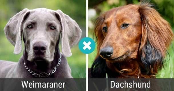 Weimaraner Dackel Mix
