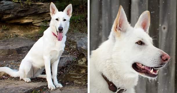 Weißer Deutscher Schäferhund