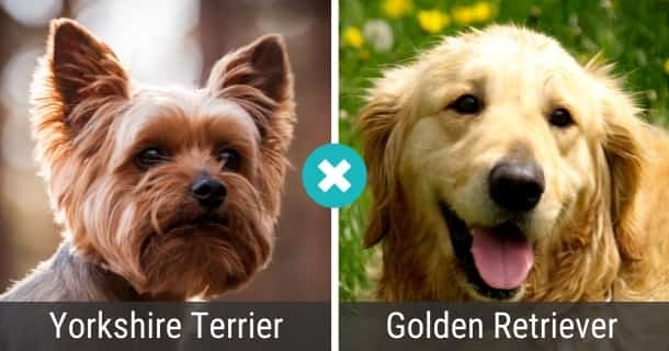 Yorkshire Terrier Golden Retriever Mix