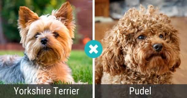 Yorkshire Terrier Pudel Mischling