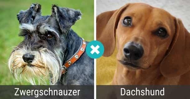 Zwergschnauzer Dackel Mischling